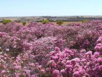 verticordia-at-reynoldson-reserve