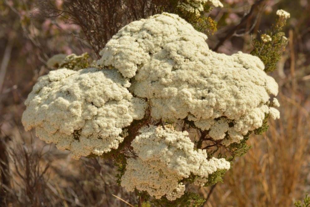 Cauliflower verticordia (Mel)